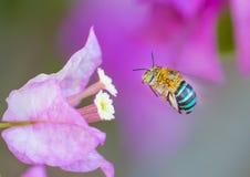 Insecto que vuela para florecer Fotos de archivo