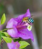 Insecto que vuela para florecer Imagen de archivo libre de regalías