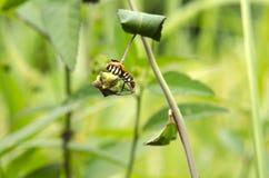 Insecto rayado Fotos de archivo libres de regalías