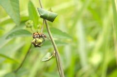 Insecto rayado Foto de archivo libre de regalías