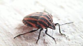 Insecto rayado del escudo metrajes