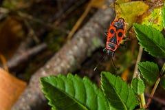 Insecto rojo fotografía de archivo