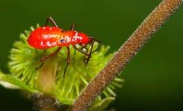 Insecto rojo Foto de archivo