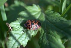 Insecto rojo Fotografía de archivo libre de regalías