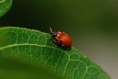 Insecto rojo Fotos de archivo