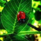 Insecto rojo Imagen de archivo