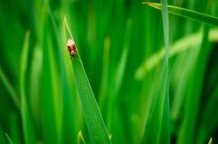 Insecto rojo en hierba Fotografía de archivo libre de regalías