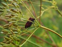 Insecto rojo en la hierba Foto de archivo libre de regalías