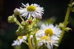 Insecto rojo en la margarita salvaje blanca fotos de archivo