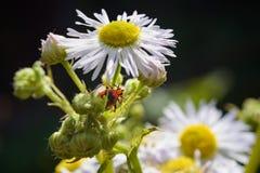Insecto rojo en la margarita salvaje blanca imagenes de archivo