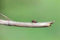 Insecto rojo en un palillo Fotografía de archivo libre de regalías