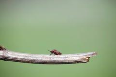 Insecto rojo en un palillo Foto de archivo