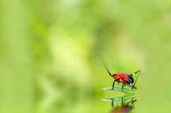 Insecto rojo en una hoja verde Foto de archivo libre de regalías