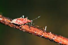 Insecto rojo Masoala del escudo Imagenes de archivo