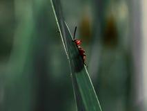 Insecto rojo que oculta detrás de la hierba Foto de archivo libre de regalías