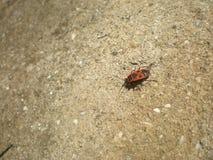 Insecto rojo y x28; en latino - apterus& x29 de Pyrrhocoris; foto de archivo