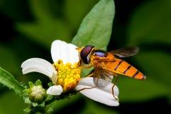 Insecto salvaje que chupa el néctar Imágenes de archivo libres de regalías