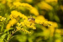 Insecto (trivittatus de Helophilus) con las flores amarillas Imagenes de archivo