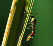 Insecto tropical en naturaleza Avispa del hilo-waisted en hoja de palma Avispa tropical exótica inusual Imagenes de archivo