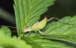 Insecto un grillo verde Imagen de archivo