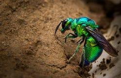Insecto verde Foto de archivo libre de regalías