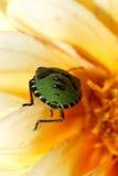 Insecto verde del escudo en la macro Foto de archivo