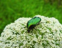 Insecto verde en la flor blanca, Lituania Foto de archivo libre de regalías