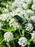 Insecto verde en las floraciones blancas Foto de archivo libre de regalías
