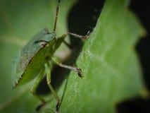 Insecto verde en una macro de la hoja Fotos de archivo