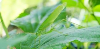 Insecto verde para dañar la planta en invernadero fotos de archivo libres de regalías