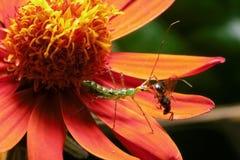 Insecto verde que precede una abeja en una flor roja Fotografía de archivo