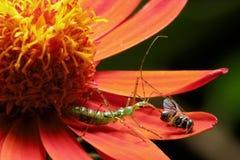 Insecto verde que precede una abeja en una flor roja Foto de archivo libre de regalías