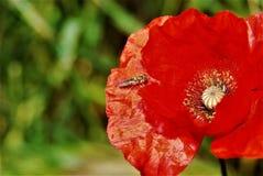Insecto y amapola Fotos de archivo libres de regalías