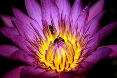 Insecto y Bua Imagen de archivo libre de regalías