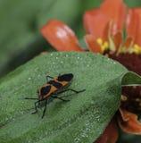 Insecto y flor roja Fotografía de archivo libre de regalías