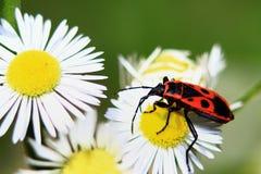 Insecto y manzanilla Fotos de archivo