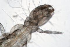 Insectophobia, larva Orthocladiinae do Chironomidae da família do mosquito pelo microscópio Monstruosidade de água doce microscóp Foto de Stock Royalty Free