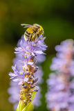 Insectos - abeja de Hummble Foto de archivo