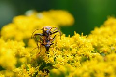 Insectos de acoplamiento en las flores amarillas que miran fijamente la cámara Foto de archivo libre de regalías