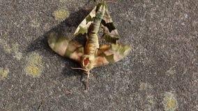 Insectos de acoplamiento. Hembra de fricción del varón lejos almacen de video