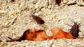 Insectos de Boxelder en la construcción de Illinois
