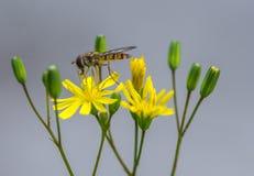 Insectos de Hoverfly solamente en un cierre amarillo de la flor para arriba Fotografía de archivo libre de regalías