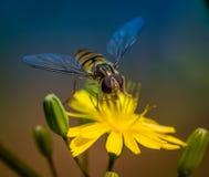 Insectos de Hoverfly solamente en un cierre joven de la hoja para arriba Fotografía de archivo