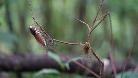 Insectos de la cigarra en Tailandia y Asia sudoriental metrajes