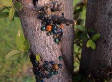 Insectos de la joya - insectos del arlequín Foto de archivo