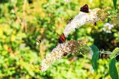 Insectos de la lila del verano Fotografía de archivo libre de regalías