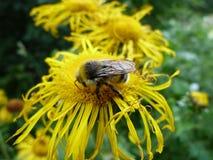 insectos de los bosques de la montaña Abeja Imágenes de archivo libres de regalías