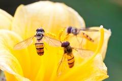 Insectos de los syrphidae del díptero Imágenes de archivo libres de regalías
