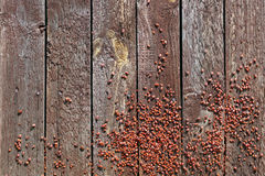 Insectos de mil rojos Imagen de archivo