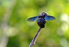 Insectos de vuelo grandes del color de la abeja negra que se sientan en una ramita Fotografía de archivo libre de regalías